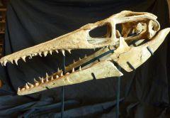 Platecarpus skull Finished