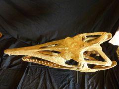 Platecarpus skull Finished 2