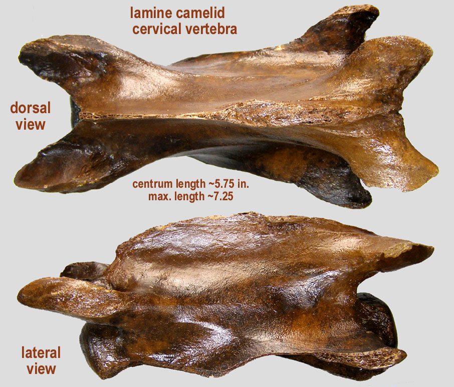 camel cervical vertebra