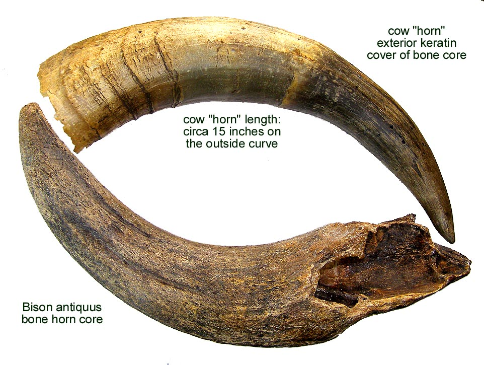 woman holding a bison horn
