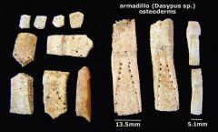 armadillo osteoderms