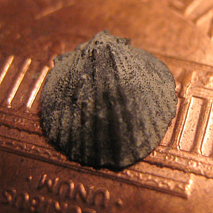 Orthid Brachiopod Preserved in Pyrite from Penn Dixie