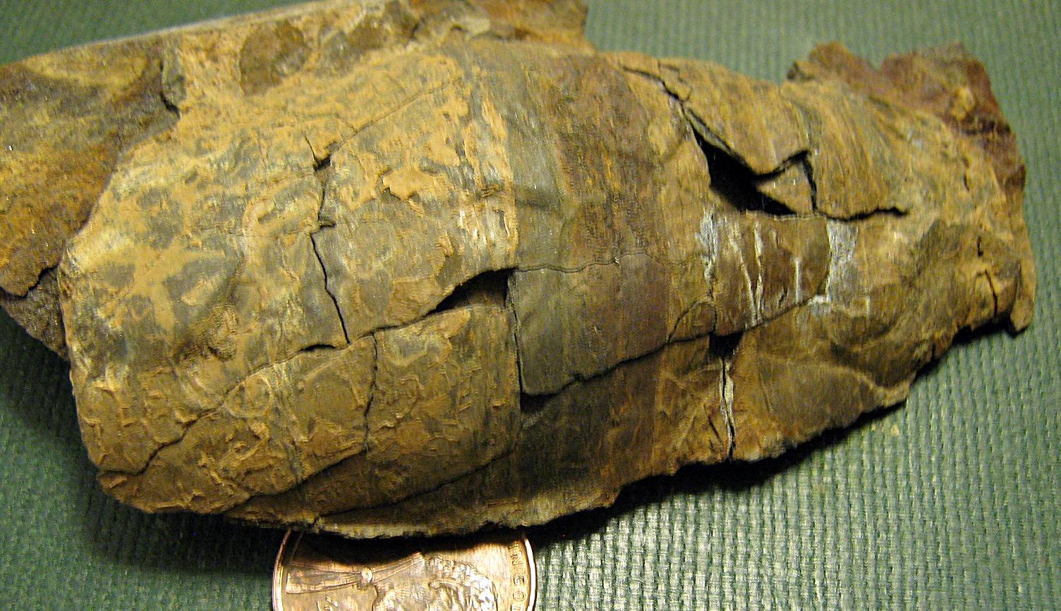 Devonian Nautiloid from Kingston, NY