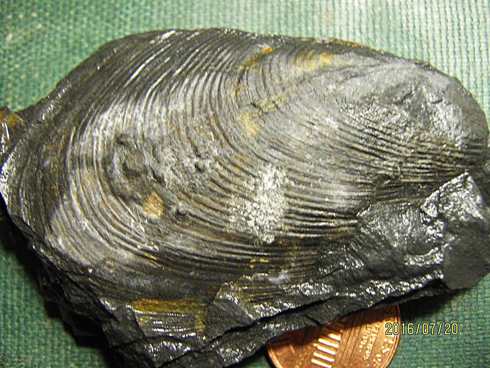 Palaeoheterodonta Bivalve from Madison Co., NY.