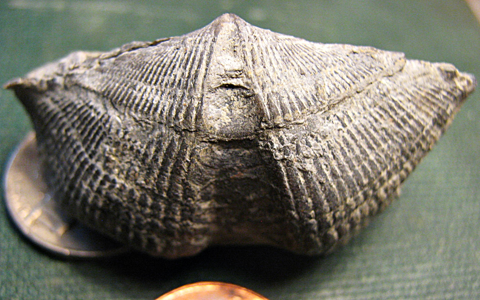 Mediospirifer audaculus (brachiopod)