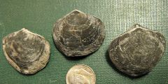 Athyris spiriferoides, Brachiopods