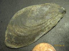 Modiomorpha, Bivalve
