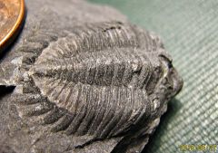 Middle Devonian Greenops Trilobite from Madison Co., NY.