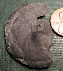 Tornoceras goniatite (ammonoid) from Madison Co., NY