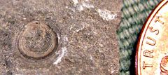 Orbiculoidea brachiopod from Penn Dixie