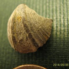 Cyrtina hamiltonesis, Brachiopod