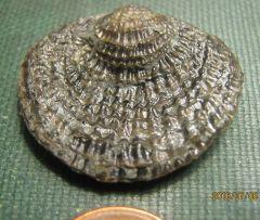 Spiny Brachiopod from Erie Co., NY.