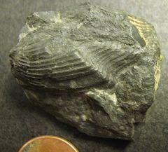 Paleoneilo emerginata (bivalve)