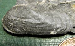 Middle Devonian Bivalve from Madison Co., NY