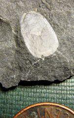 Lingula brachiopod from Madison Co., NY.