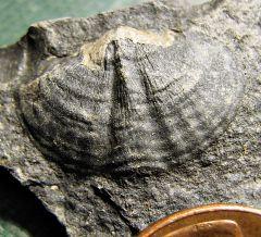 Spiny Middle Devonian Brachiopod from Madison Co., NY.