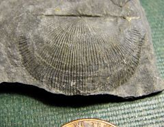 Middle Devonian Devonochonetes (brachiopod) from Madison Co., NY