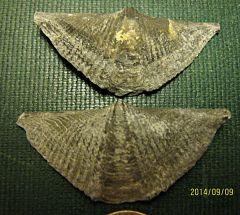 Mucrospirifer mucronatus, Brachiopods