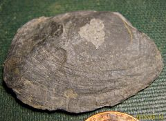 Middle Devonian Cypricardella (bivalve) from Madison Co., NY.