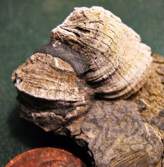 Middle Devonian Rugose Corals from Madison Co., NY