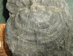 Strophomenid Brachiopod from Madison Co., NY.