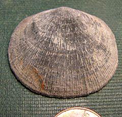 Large, perfect Rhipidomella penelope (brachiopod)