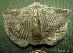 Mediospirifer, Brachiopod