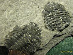 Eldredgeops milleri, Trilobite
