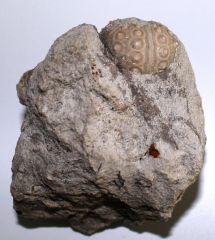 Stereocidaris cenomaniensis (COTTEAU,1845)