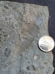 Urban Fossils of Toronto (Georgian Bay Formation, Lower Member)