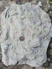 Modiolopsis Mayhem slab in situ