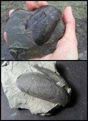 Pholadomorpha pholadiformis (synonym: Whiteavesia pholadiformis)
