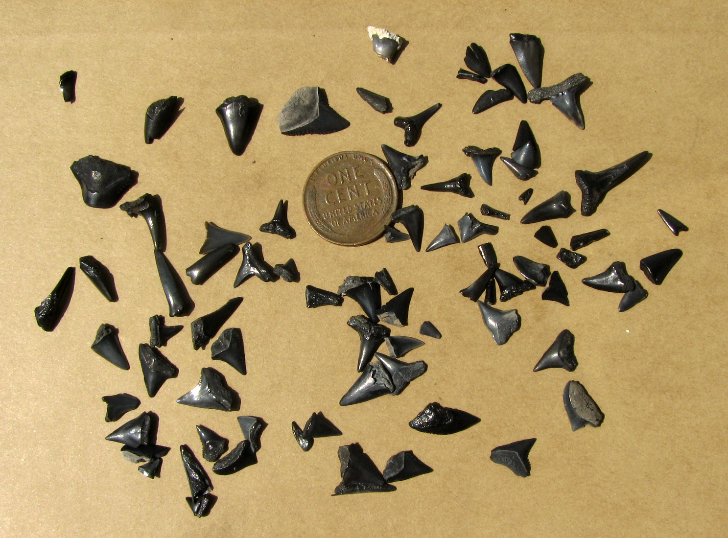 Sharks Teeth Found At North Myrtle Beach