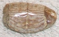 Burr fish tooth plates (front view)