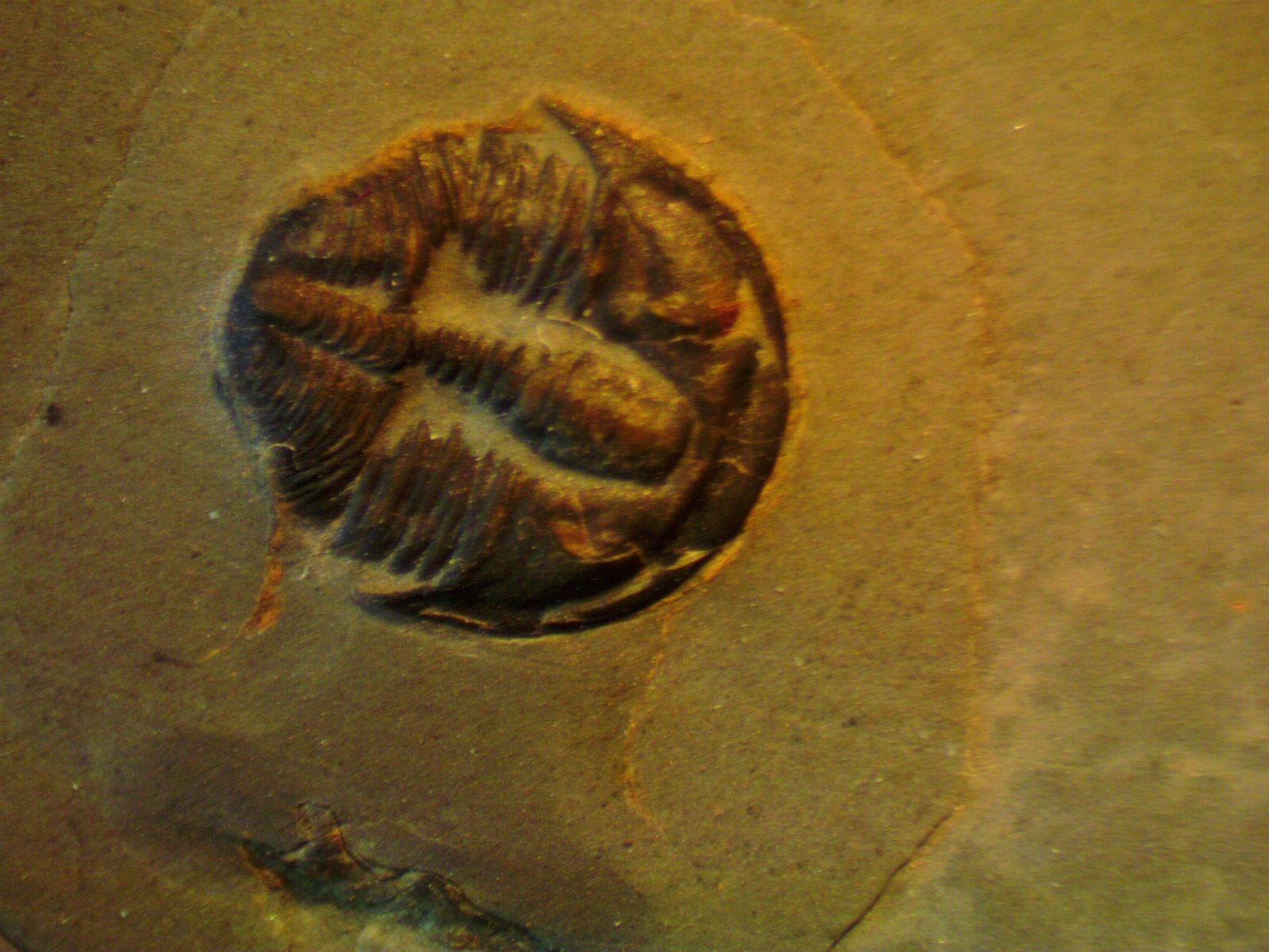 Bolaspidella housensis (1c)