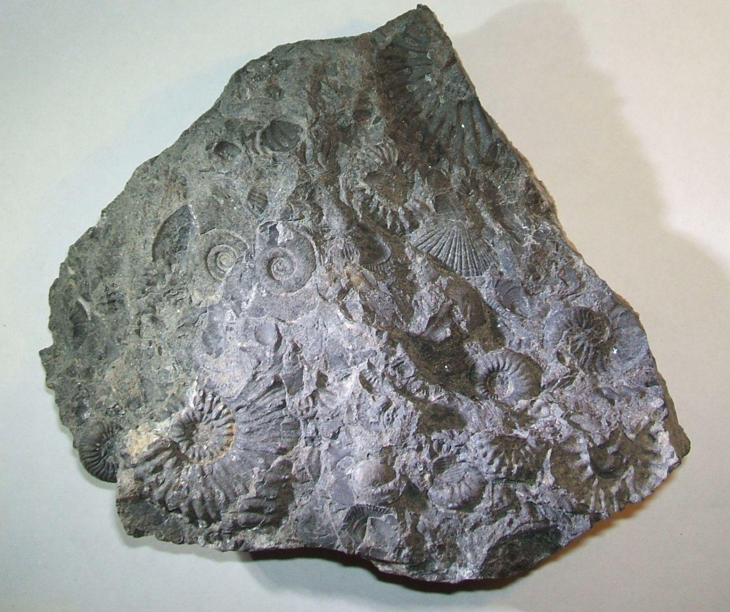 4 Ammonites species and 1 brachiopod