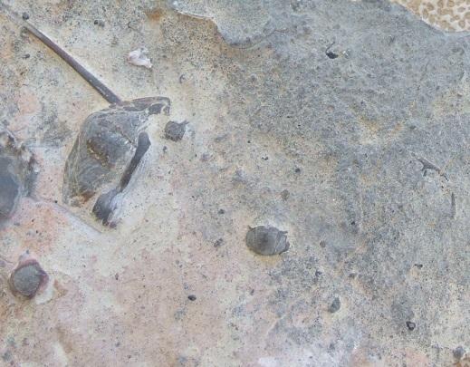 Hystricuridae(?)