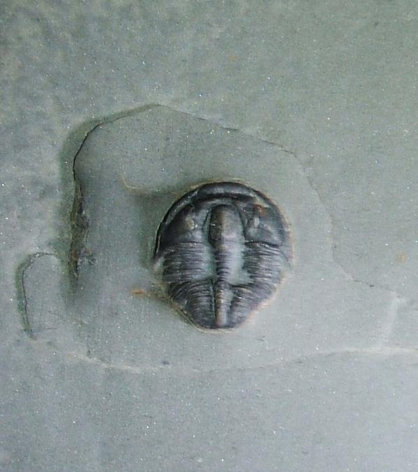 Bolaspidella housensis (1b)
