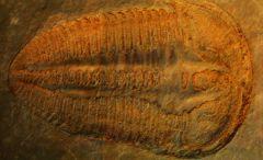 Altiocculus harrisi (1a)