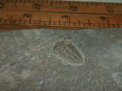 Altiocculus harrisi (1b)
