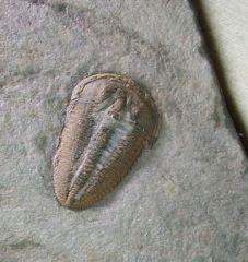 Altiocculus harrisi (1c)