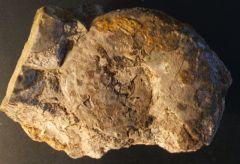 Meekoceras gracilitatis