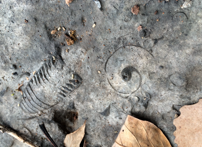 Ordovician fossils side by side at Center Hill Lake