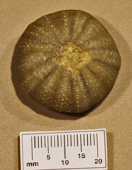 E4 M.Jur Psephechinus serratus