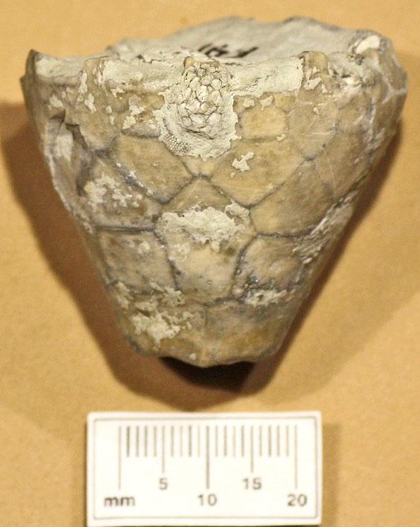 E 41 Silurian Eucalyptocrinus crassus