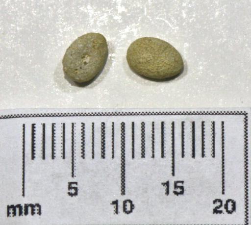 E 12 Eocene Echinoyamus parvus