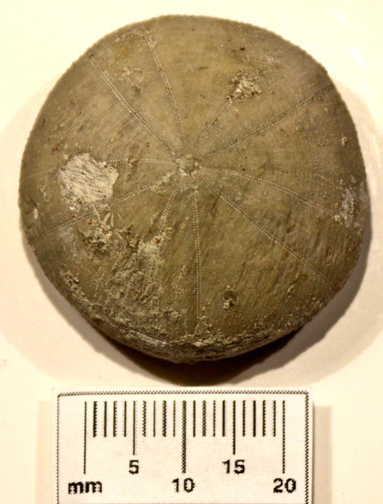 E 19 L.K. Coenholectypus planatus