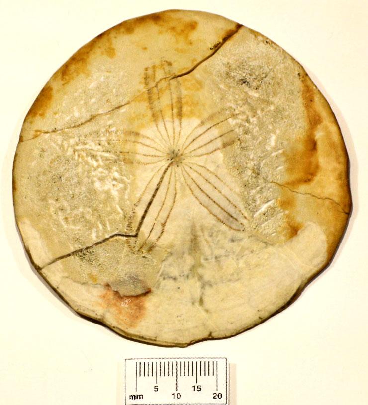 E 24 Paleogene Periarchus lyelllii