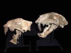 Pogonodon platycopis compared to Hoplophoneus