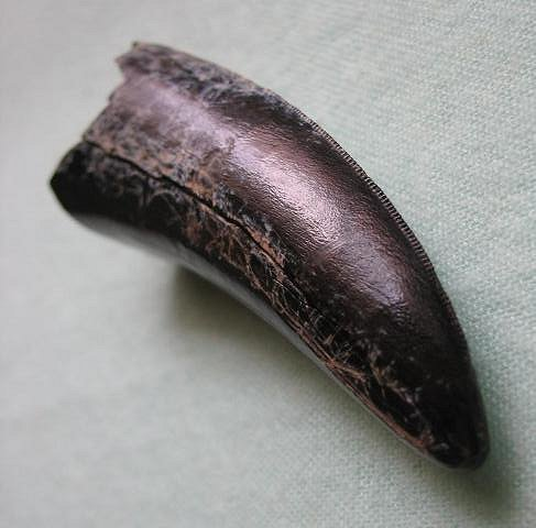 T-Rex Tooth